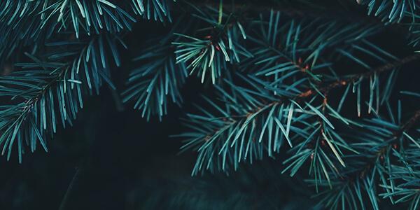 針葉樹イメージ